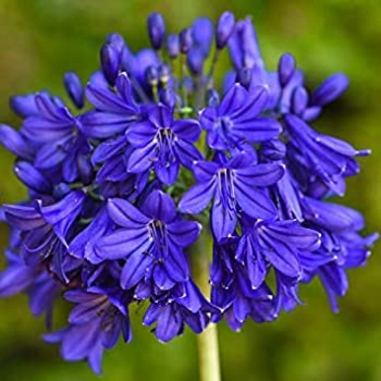 african_lily